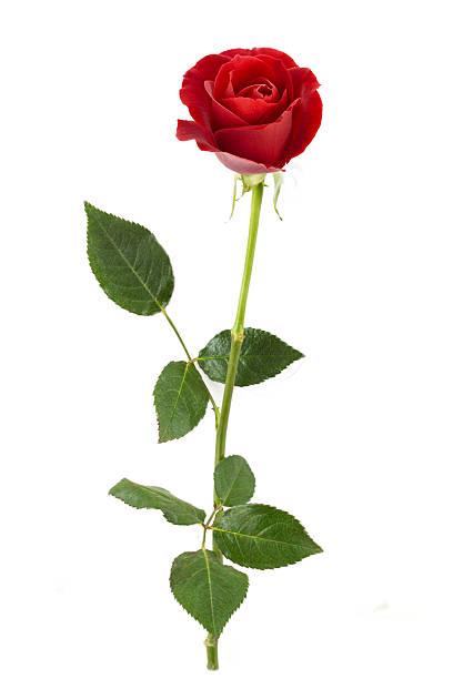 Rosa roja única - foto de stock