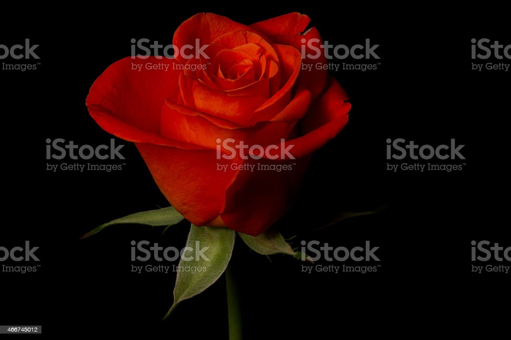 Red Rose Symbolic Of Love And Compassion Stock Photo More Pictures