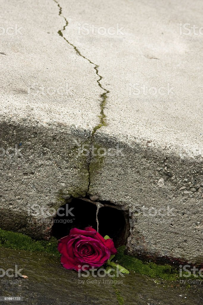 Red Rose under Cracked Concrete stock photo