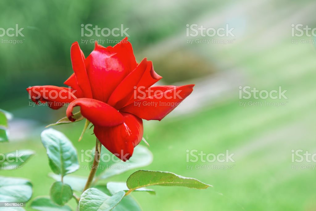 Red rose under rays of sun royalty-free stock photo