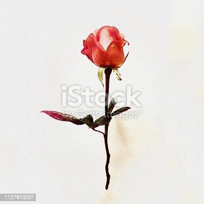 Red rose watercolor painting illustration