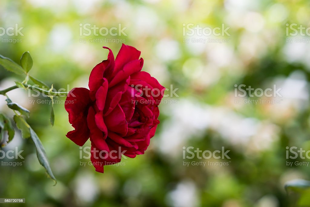 Red Rose, Winter Park, Orlando, Florida stock photo