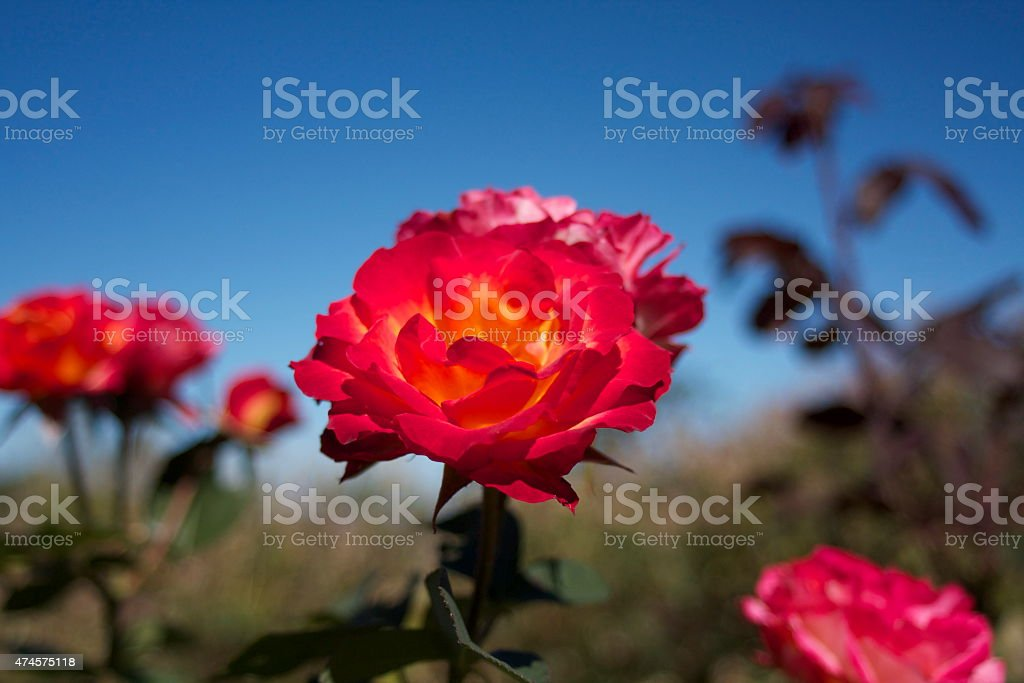 Red Rose with a hint of Yellow Centre stock photo