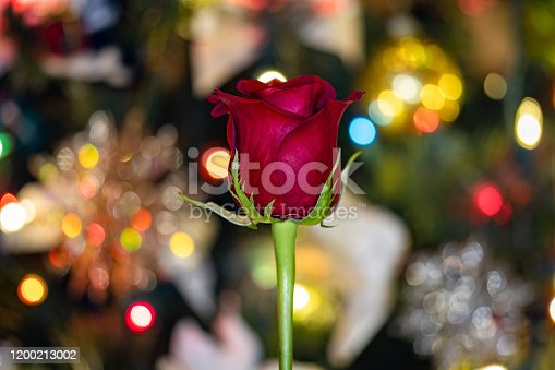 Red Rose with Christmas Tree & Bokeh