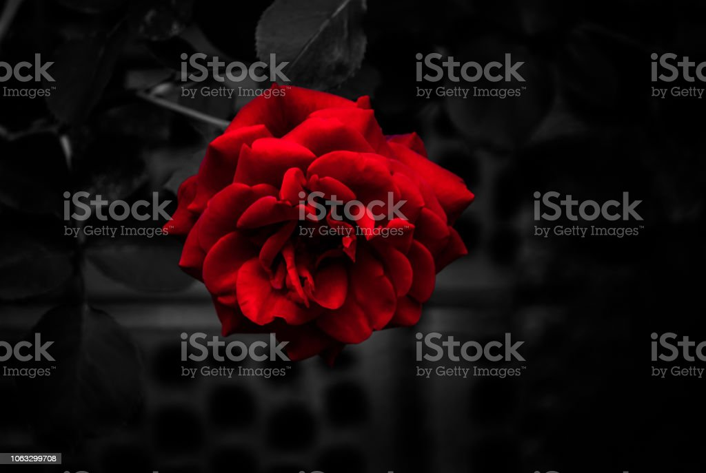 Red Rose with Dark Backgorund stock photo
