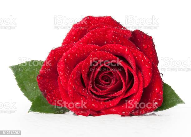 Red rose with dew droplets on white background picture id810512262?b=1&k=6&m=810512262&s=612x612&h=gfderxqtws6xpi9qkc 27yvw qpyradne5bgqyyefk4=