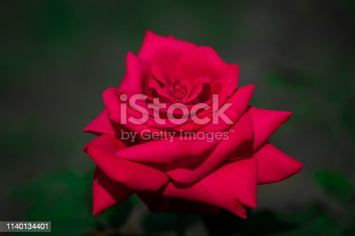 Gorgeous red rose with dew drops on a dark green background