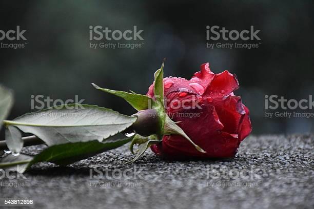 Red rose with dew drops on its petals picture id543812698?b=1&k=6&m=543812698&s=612x612&h=dhqpuji74zsp3job7 rwm06yrcrjivjsmtfqp etco8=