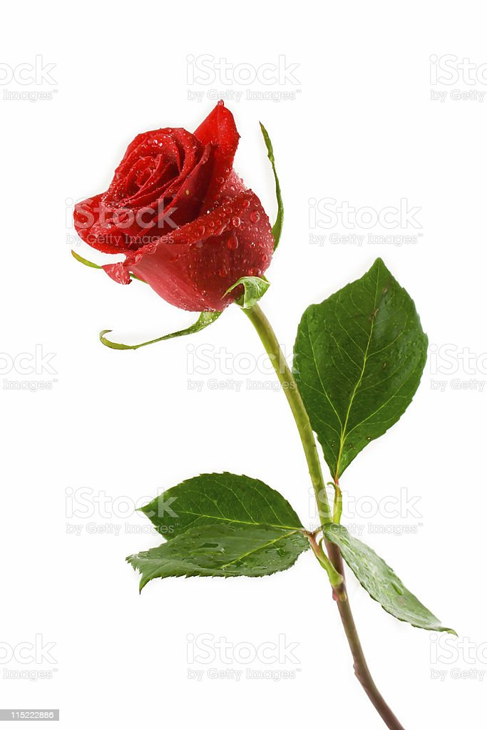 Red rose with green leaves on white background stock photo