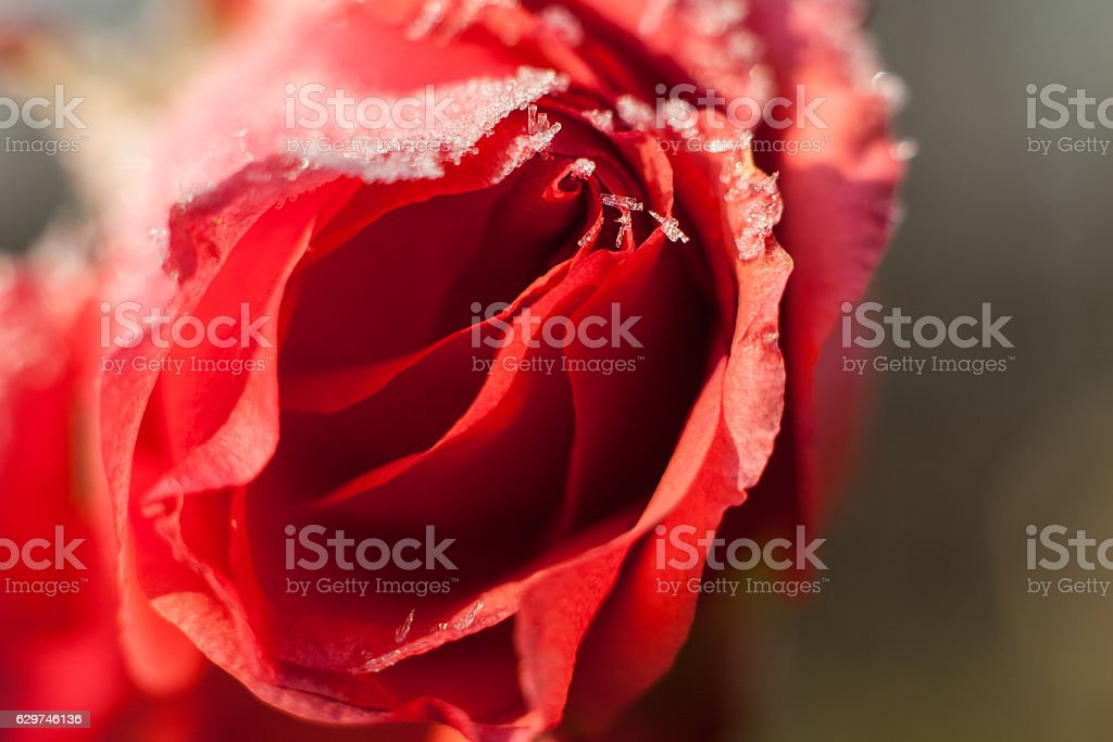 Red rose with ice crystals of water. – zdjęcie