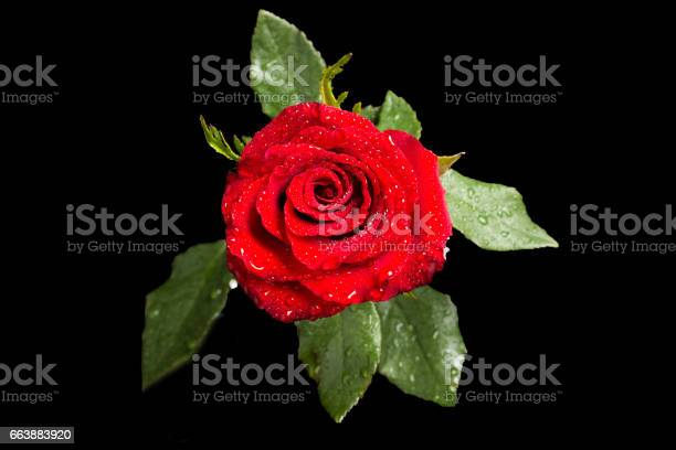 Red rose with leaves in water drops isolated on black picture id663883920?b=1&k=6&m=663883920&s=612x612&h=tmztptpxplzdzulz7 r0j8tdmn35mi6u rowrlomkcw=