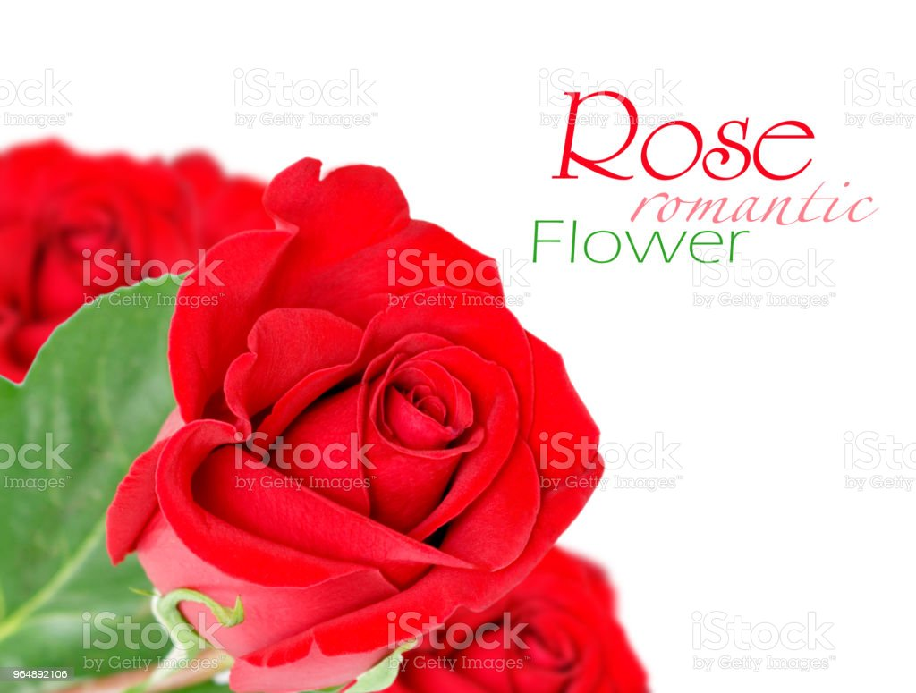紅玫瑰, 葉子被白色隔開 - 免版稅室內裝潢圖庫照片