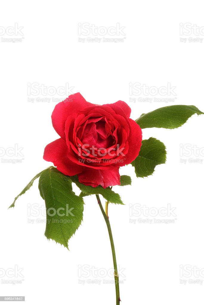 red rose with leaves royalty-free stock photo