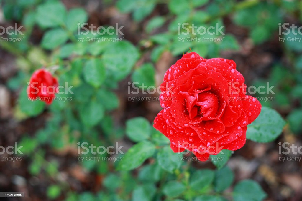 Red rose with rain drops royalty-free stock photo