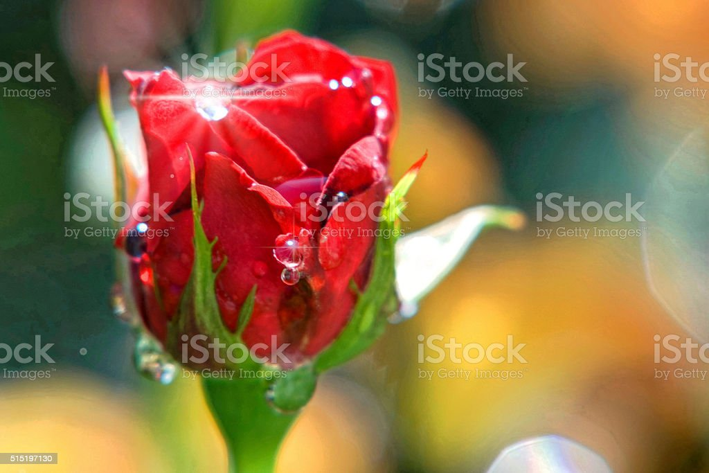 red rose with raindrops stock photo