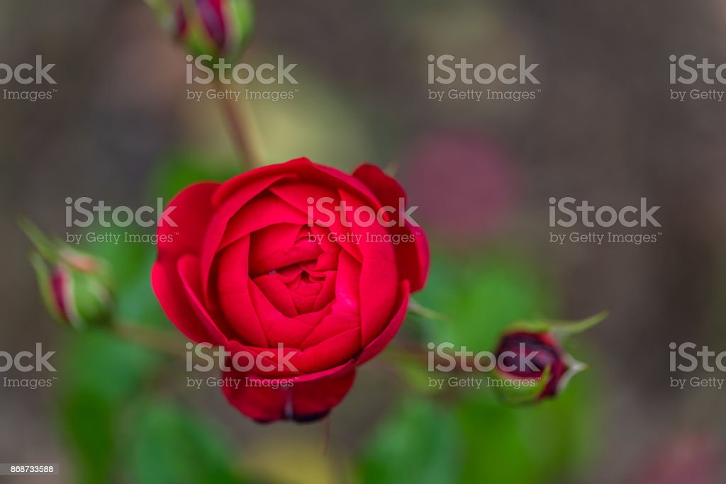 Red rose with some buds in the background stock photo