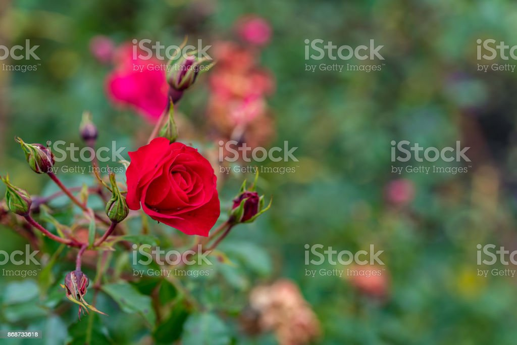 Red rose with some buds in the garden stock photo