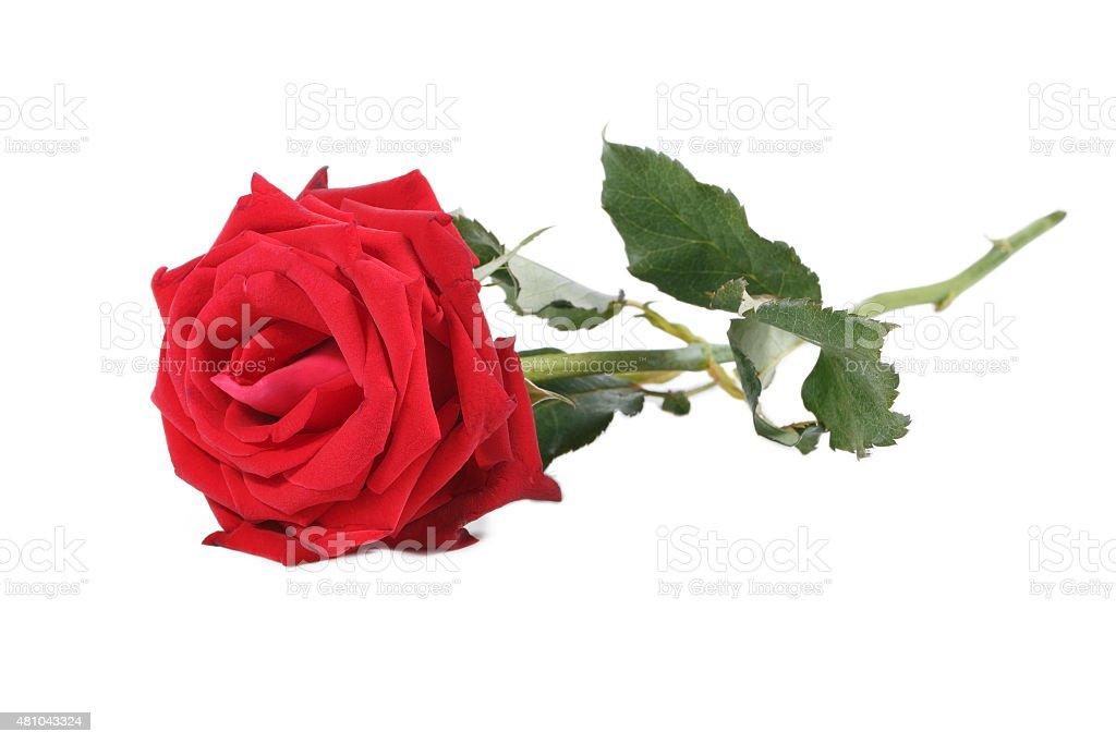 rose rouge et vert rameau isolé sur blanc - Photo
