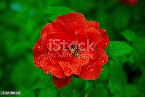 Rose - Flower, Studio Shot, Backgrounds, Beauty