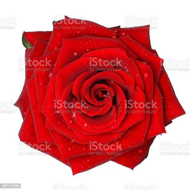 Red rose with water drop isolated picture id852425064?b=1&k=6&m=852425064&s=612x612&h=sny6bplmfvkh5sjnnki1khssrgvaxrqi1lv6  m0lre=