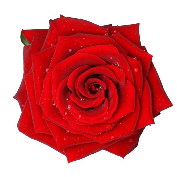red rose mit wasser drop - isoliert - rotes oberteil stock-fotos und bilder