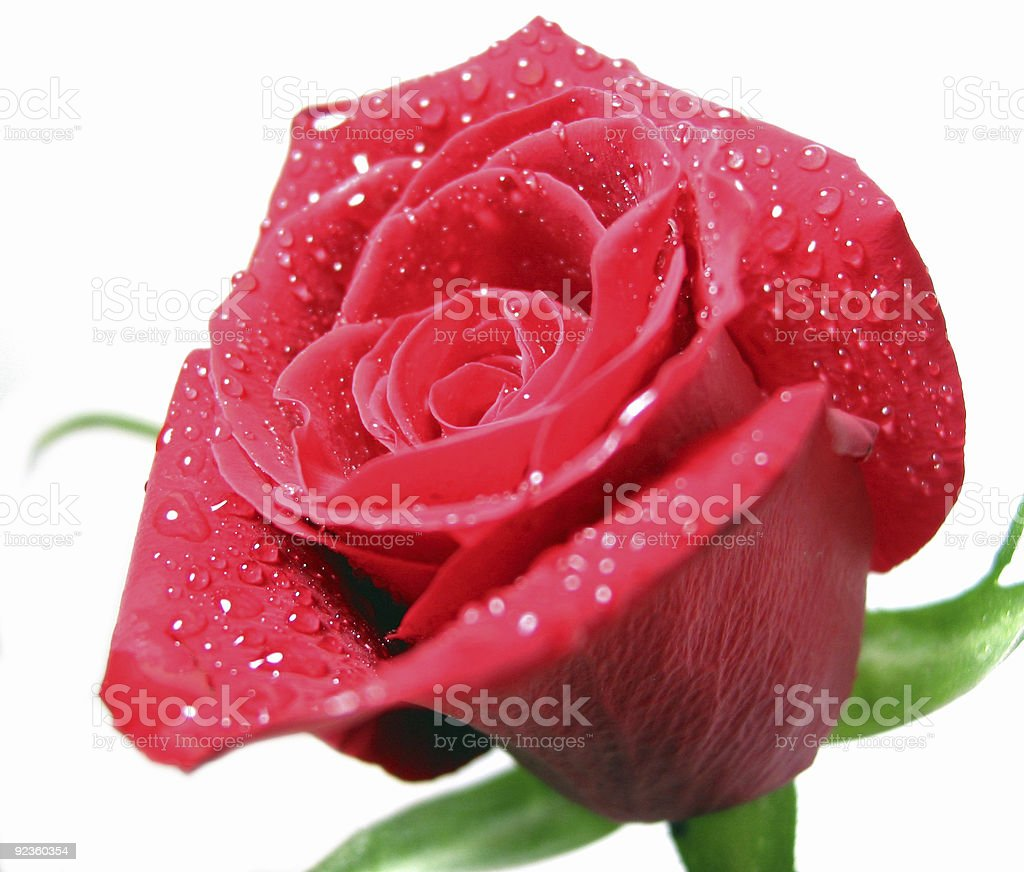 Red rose with water droplets royalty-free stock photo