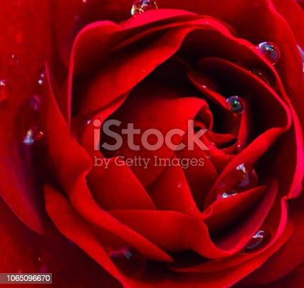 Rose - Flower, Flower, Plant, Single Flower, Velvet