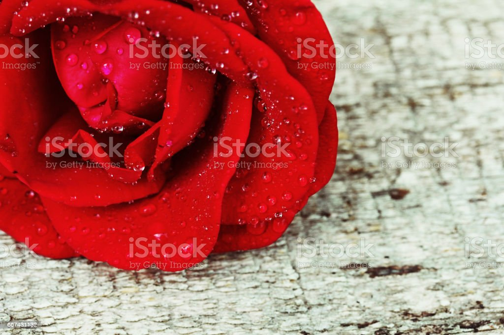 Red rose with water drops on a wood background stock photo