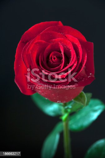 155139080istockphoto Red rose with water drops. 186663217