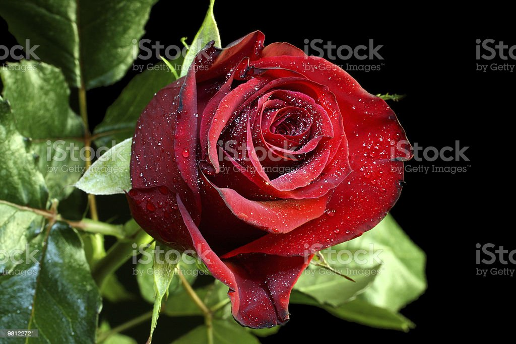 red rose with water drops royalty-free stock photo