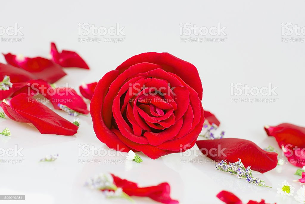 red rose with white Rose petals stock photo