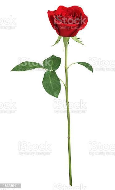 Red rose xxl picture id185235411?b=1&k=6&m=185235411&s=612x612&h=t7ob20hfgpsbxjctmmjrj07l0 eot0uew7svdycxsyq=