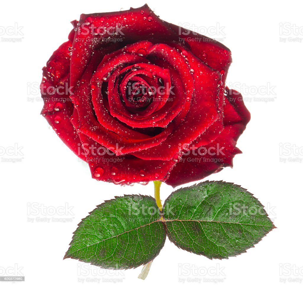 red rose,flower isolated on white with drops zbiór zdjęć royalty-free