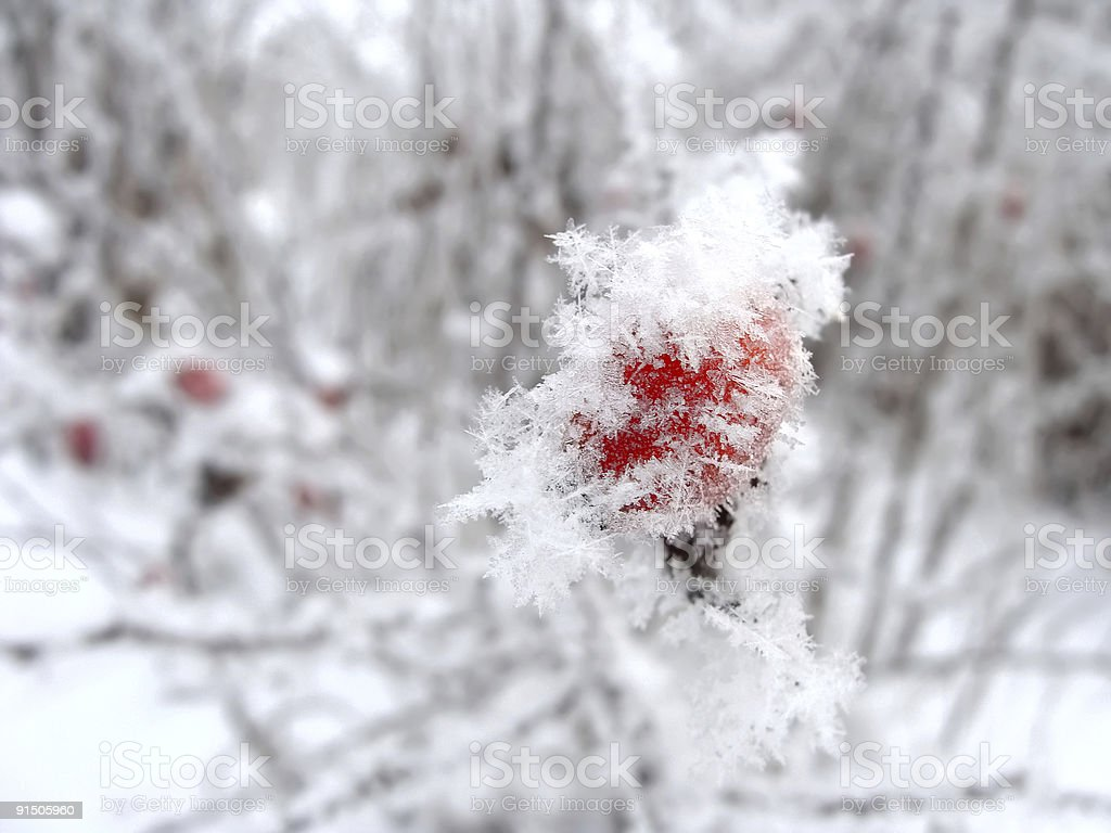 Red rose-hip in winter under snow royalty-free stock photo
