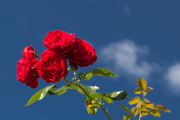 Red roses against a blue sky with some white clouds picture id1156782161?b=1&k=6&m=1156782161&s=612x612&w=0&h=gi1sq v2kcm9ip bwnotdko07tflmvtqqrzpemykdjq=
