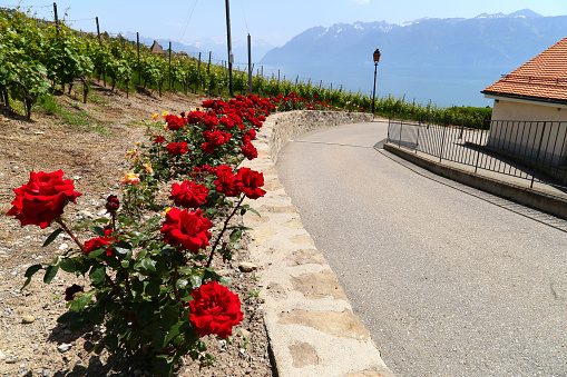 Red roses along road in small town of Lutry, Switzerland