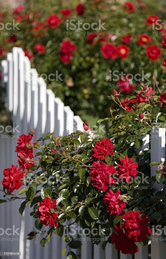 Red Roses and a White Picket Fence royalty-free stock photo