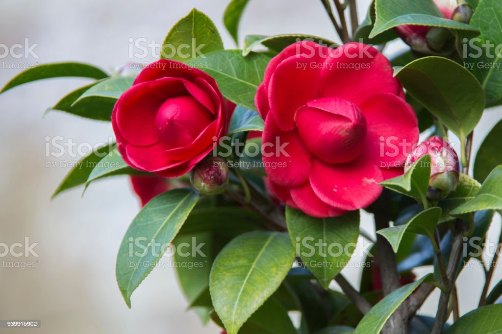 red roses and gree leaves in nature stock photo