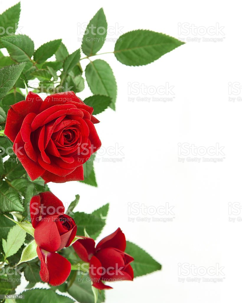 Red roses and green leaves on white background royalty-free stock photo