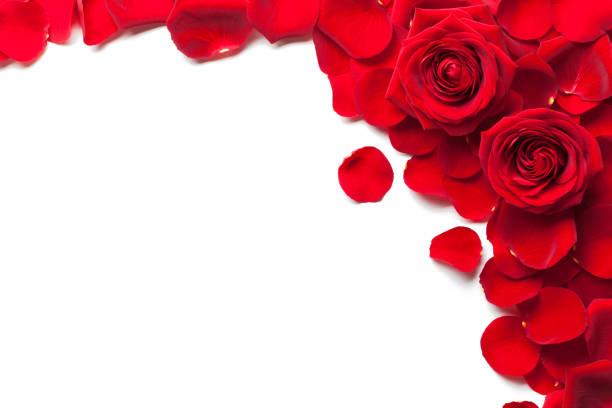 rote rosen und rosenblätter isolierten weißen hintergrund - rose stock-fotos und bilder