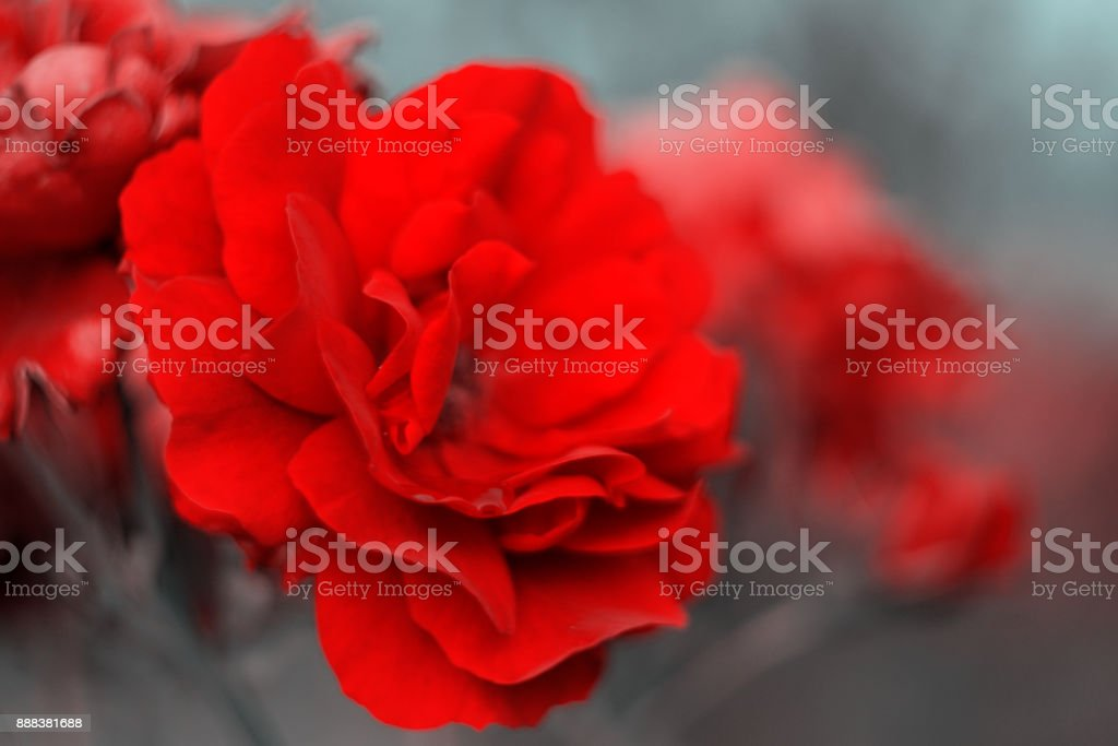 Red roses beautiful background with blue toning. stock photo