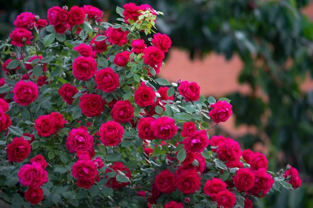 Red roses bush picture id862579532?b=1&k=6&m=862579532&s=612x612&w=0&h=o81ouij9qmt6sljzvtlj7ihymei8tp2sg0s135agwbo=
