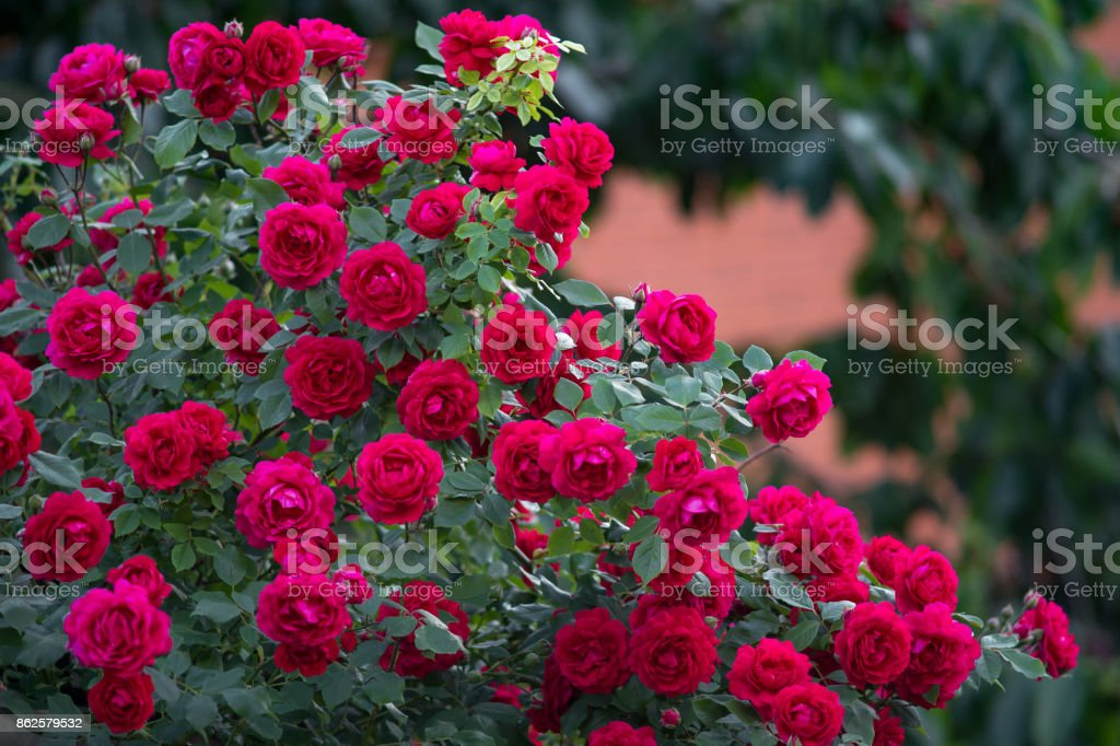 Red roses bush stock photo