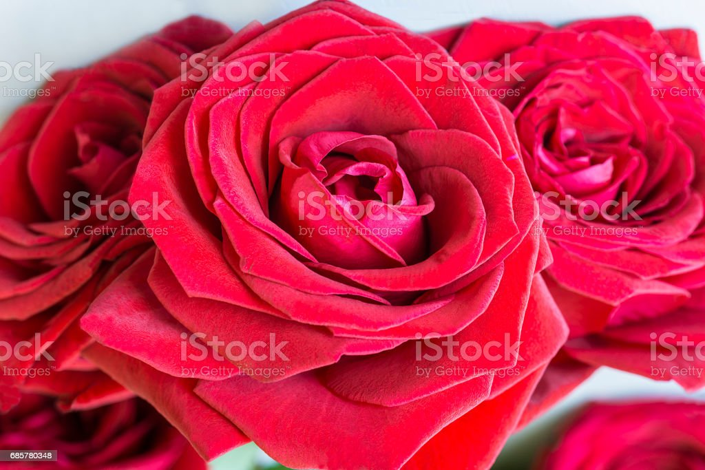 red roses close up royalty-free stock photo