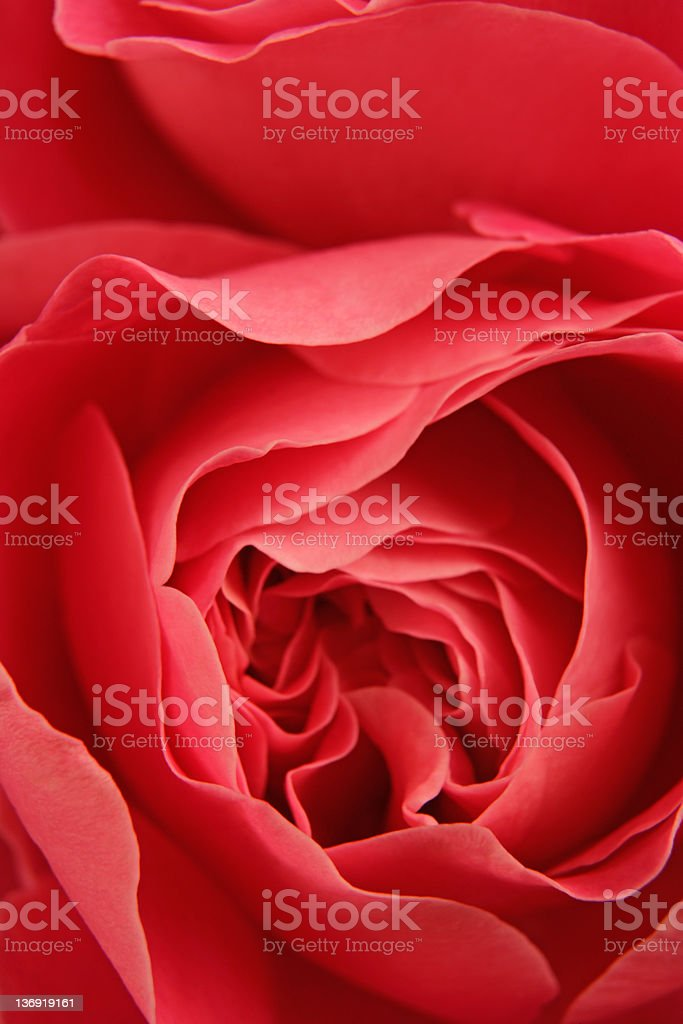 red roses close-up royalty-free stock photo