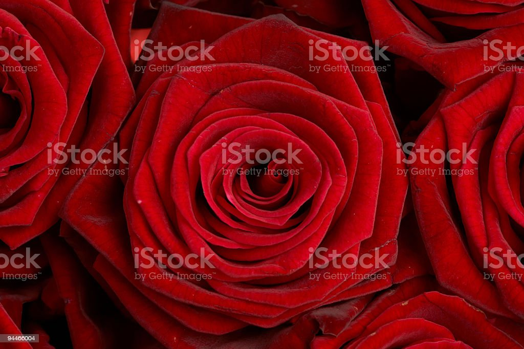 red roses closeup royalty-free stock photo
