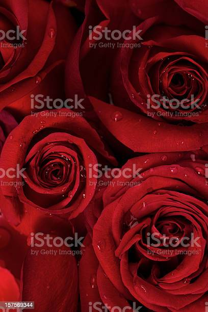 Red roses dew drops flower valentine day wedding background picture id157569344?b=1&k=6&m=157569344&s=612x612&h=z4nhq0xxqjpt0ot5kpenfiwl2jfuy9ksj6iqzd5ejzq=