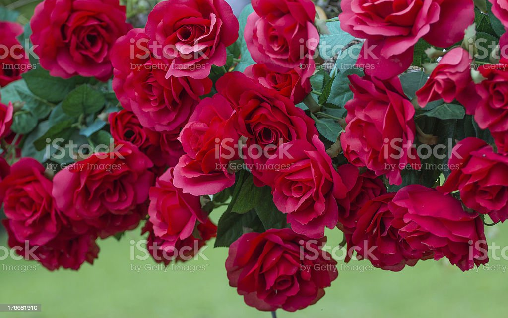 Red roses for Valentine's Day royalty-free stock photo