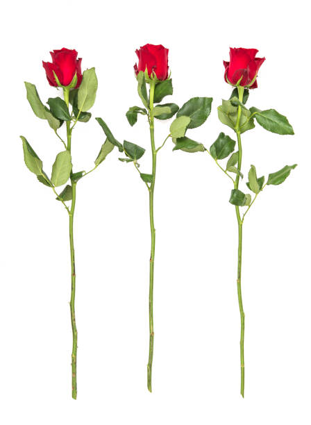 Red roses green leaves isolated white background picture id905754124?b=1&k=6&m=905754124&s=612x612&w=0&h=wwpskizg6zarbya46ovrfjwvuqio1o2otrptllrx5ac=