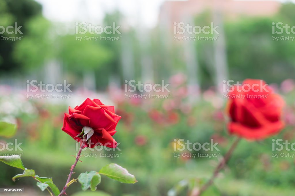 Red roses in a garden. royalty-free stock photo
